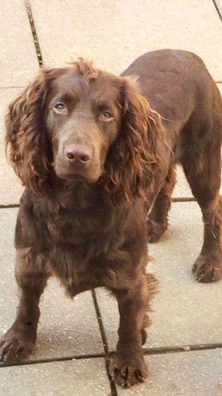 Spanish Mastiff Puppies For Sale Newark Avenue Nj 252519