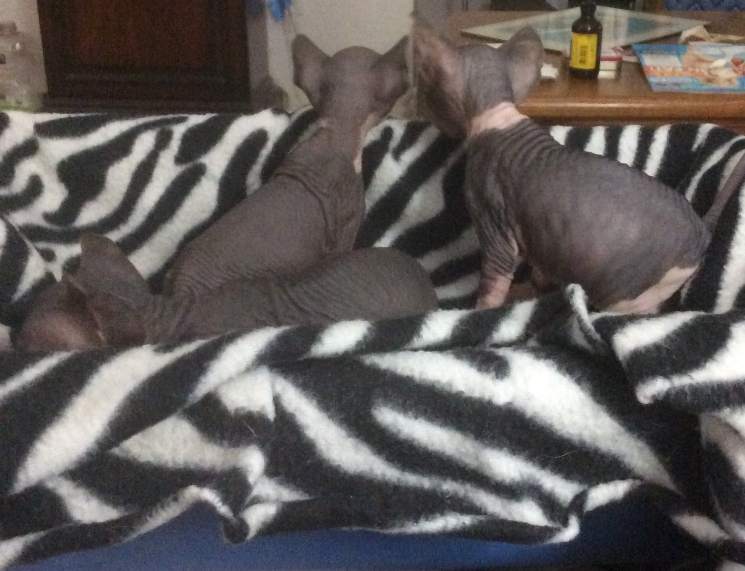 Sphynx Cat For Sale Los Angeles
