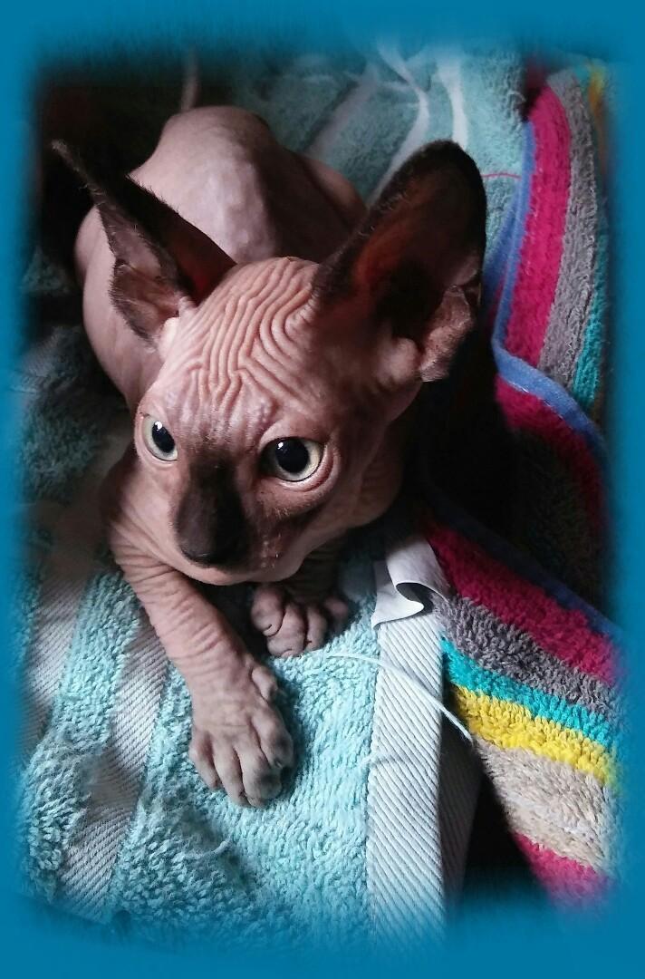 sphynx kittens for sale oregon