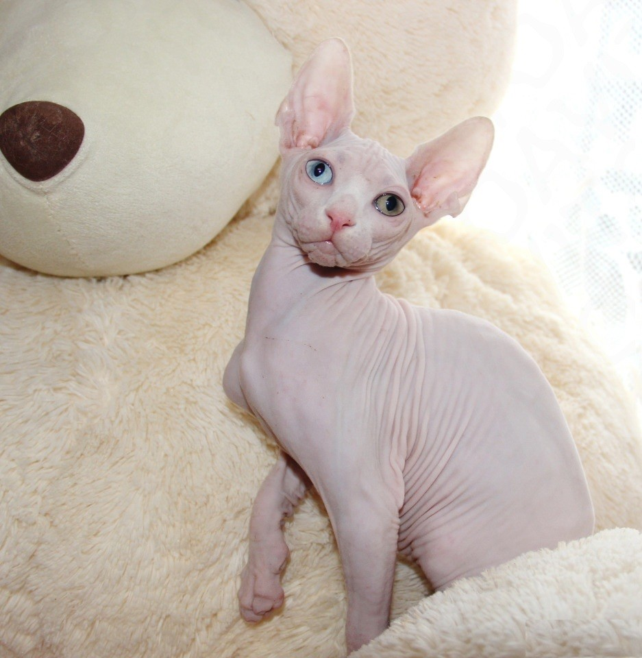 Sphynx Cats For Sale | Texas City, TX #288656 | Petzlover