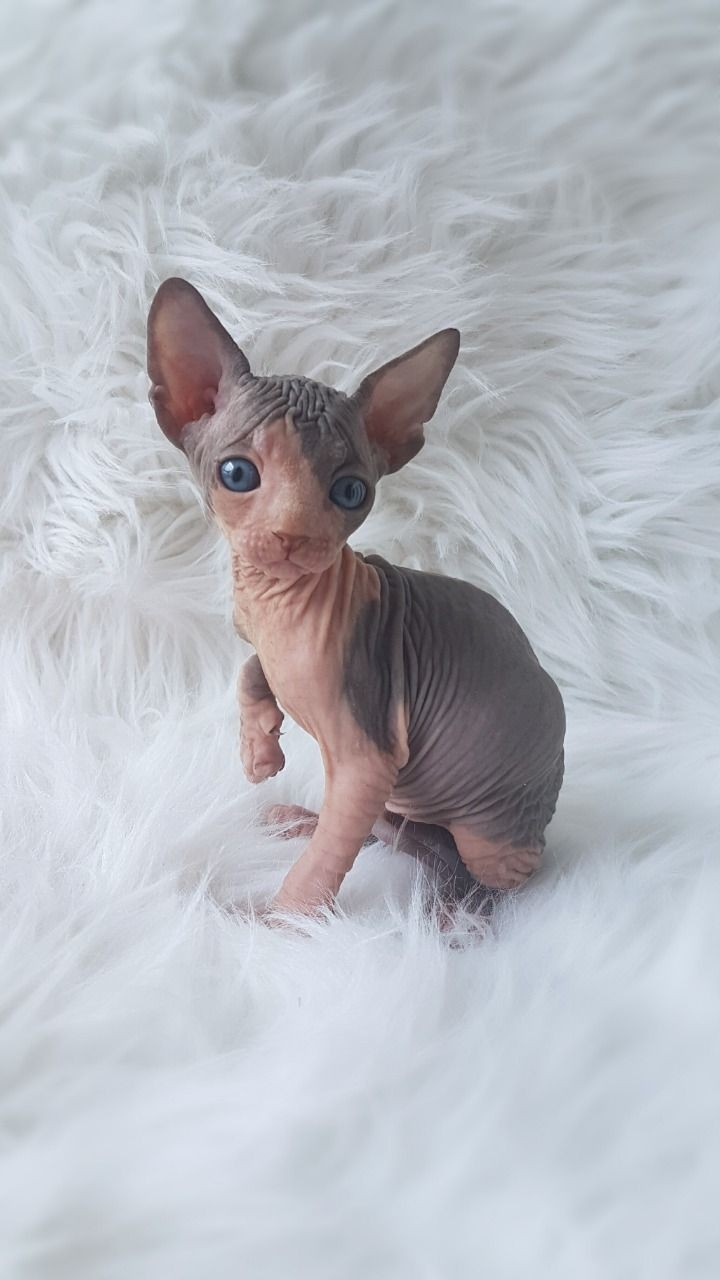 Sphynx Cats For Sale South Vernal Avenue Ut 293677