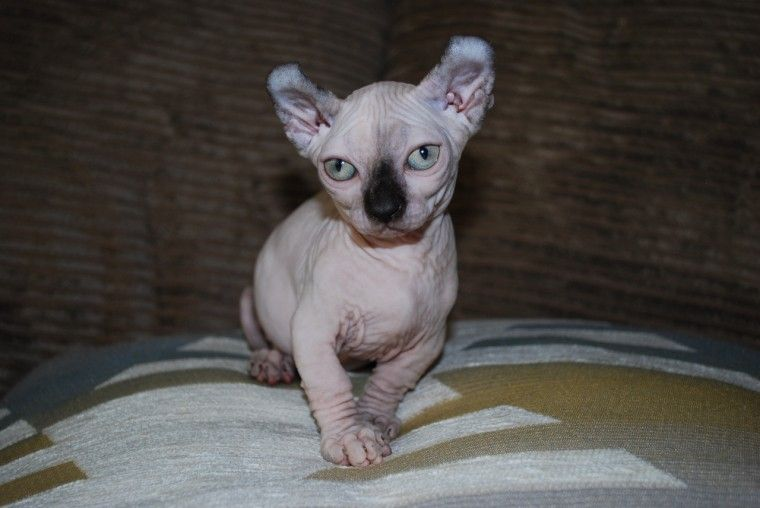 Sphynx Cats For Sale Raleigh Nc 296858 Petzlover