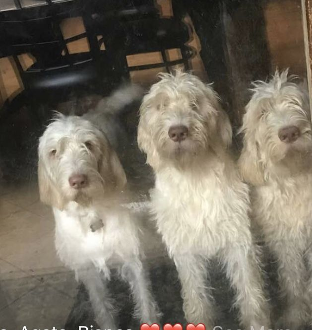 Spinone Italiano Puppies For Sale Akron Oh 263368