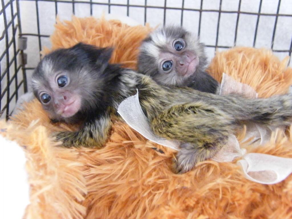 Squirrel Monkey Animals For Sale Maitland Fl 243605