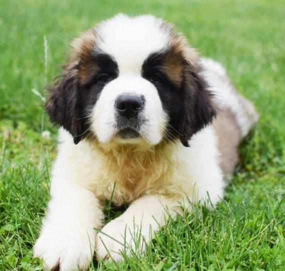 St Bernard Puppies For Sale Clayton Nc 245209