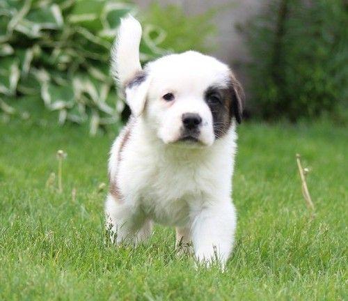 St Bernard Puppies For Sale Springfield Ma 261349