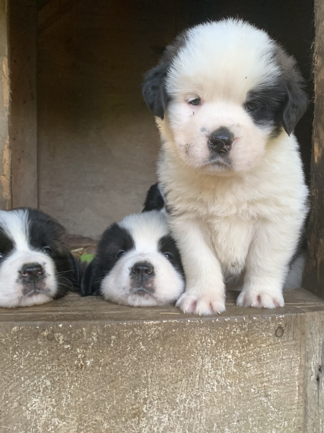 St Bernard Puppies For Sale New Philadelphia Oh 311622