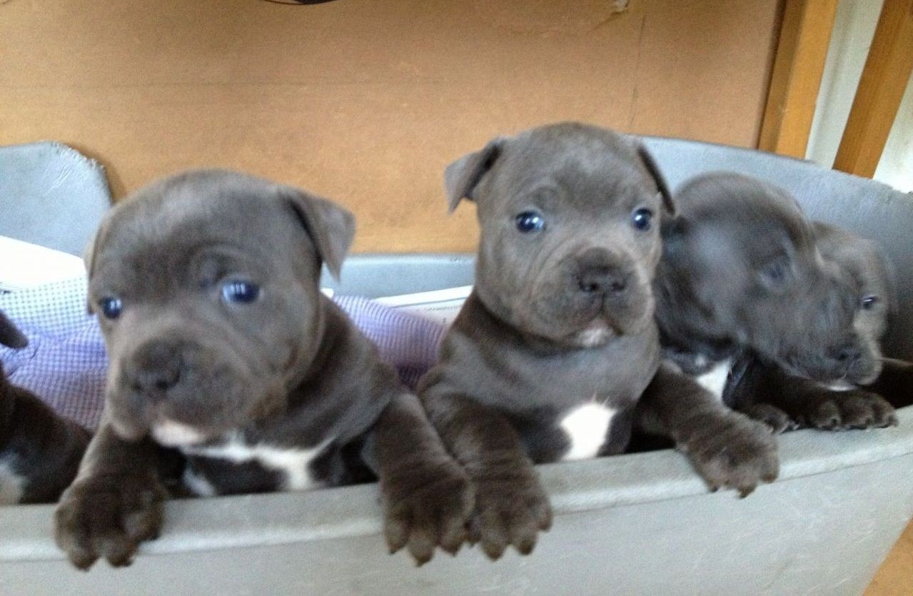 Staffordshire Bull Terrier Puppies For Sale Dallas Tx 228963