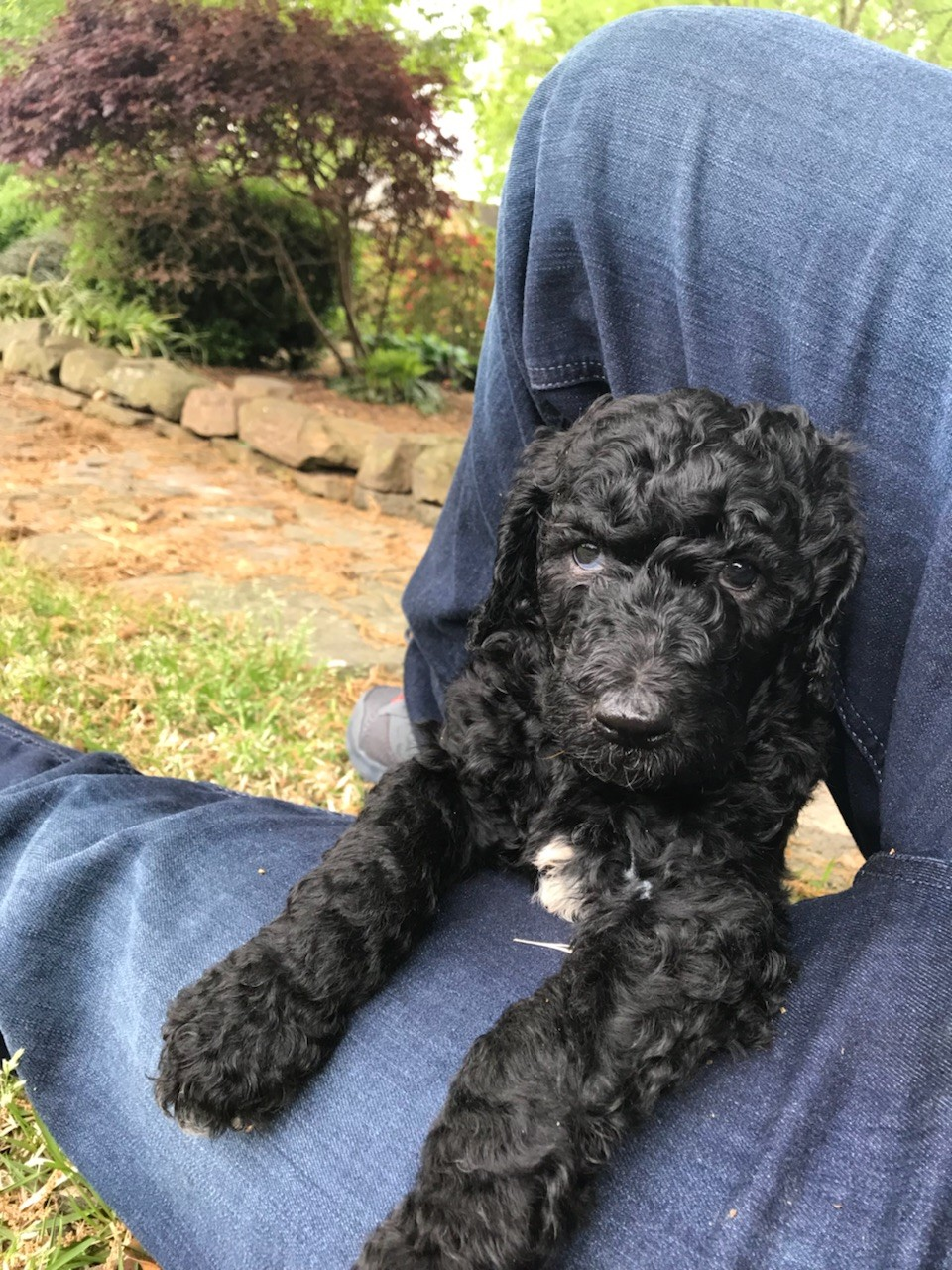 Standard Poodle Puppies For Sale Germantown Tn 275688