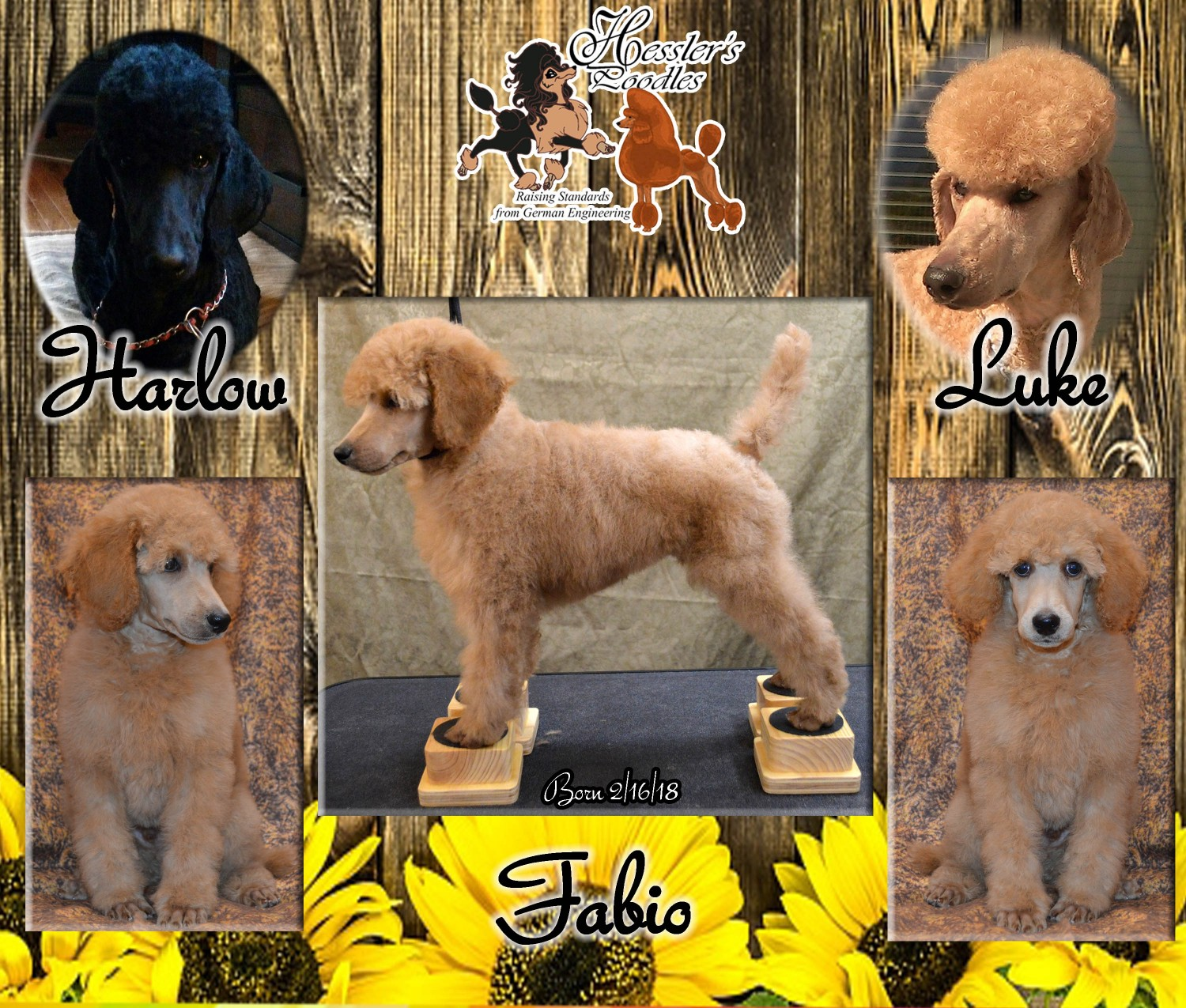 Standard Poodle Puppies For Sale Johnson City Tn 275885