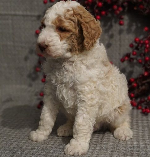 Standard Poodle Puppies For Sale Madison Wi 285906