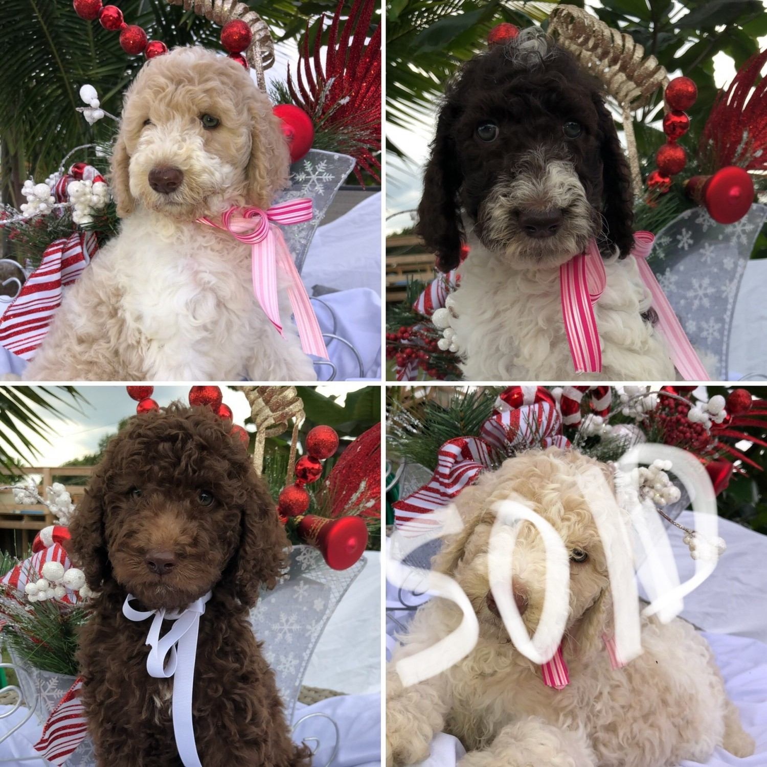 Poodles For Sale In Palm Beach County