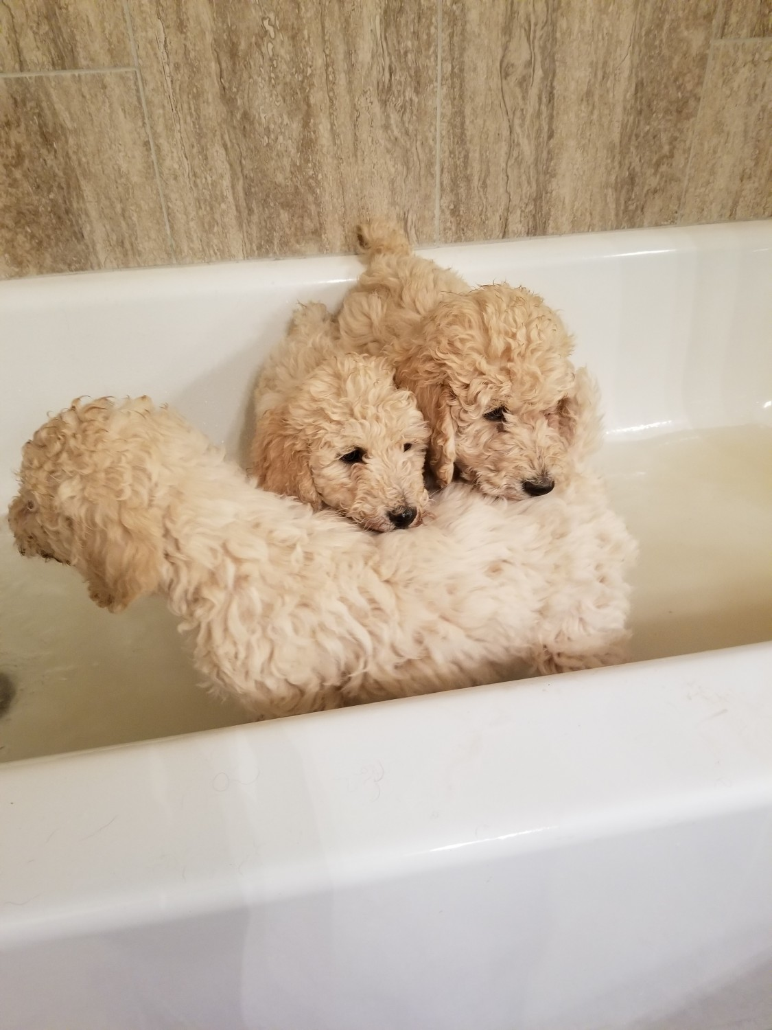 Poodle Puppies for sale in Saskatchewan Canada