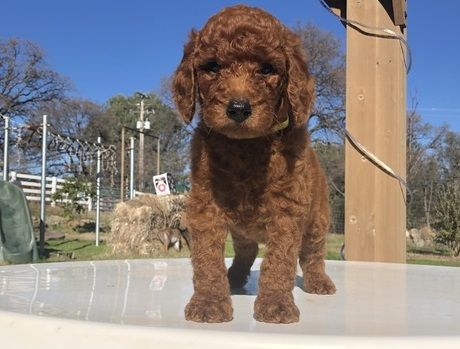 Standard Poodle Puppies For Sale Northeast Portland Or