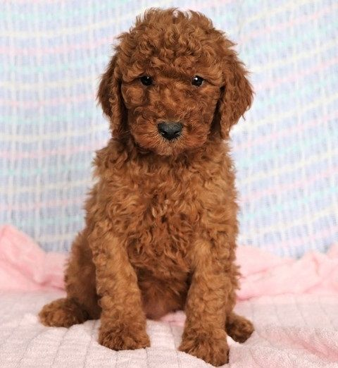 Standard Poodle Puppies For Sale Columbia Sc 294883
