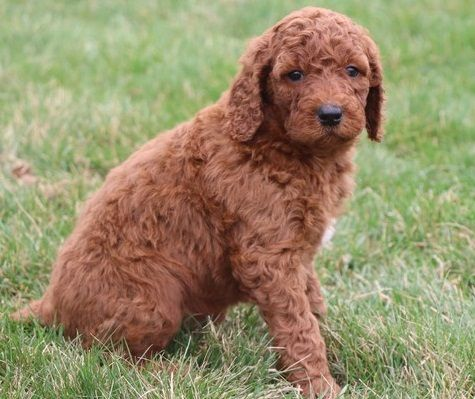 Standard Poodle Puppies For Sale Orlando Fl 296754