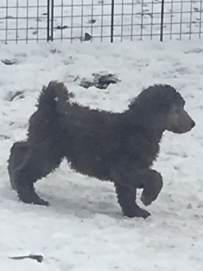 Standard Poodle Puppies For Sale Colorado Springs Co 297675