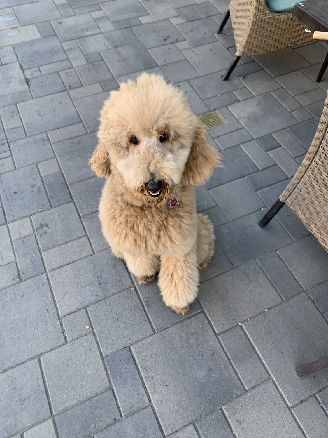 Standard Poodle Puppies For Sale Cypress Ca 325402