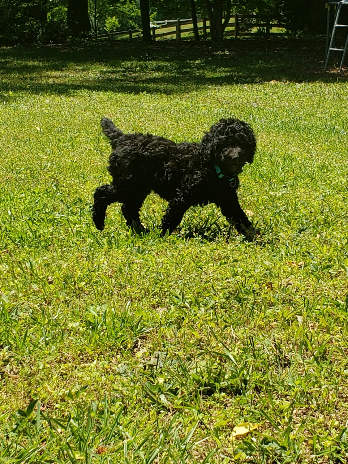 Standard Poodle Puppies For Sale | Acworth, GA #330313