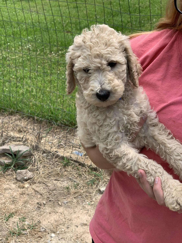 Poodle $$-Sale-$$   Luxury Puppies