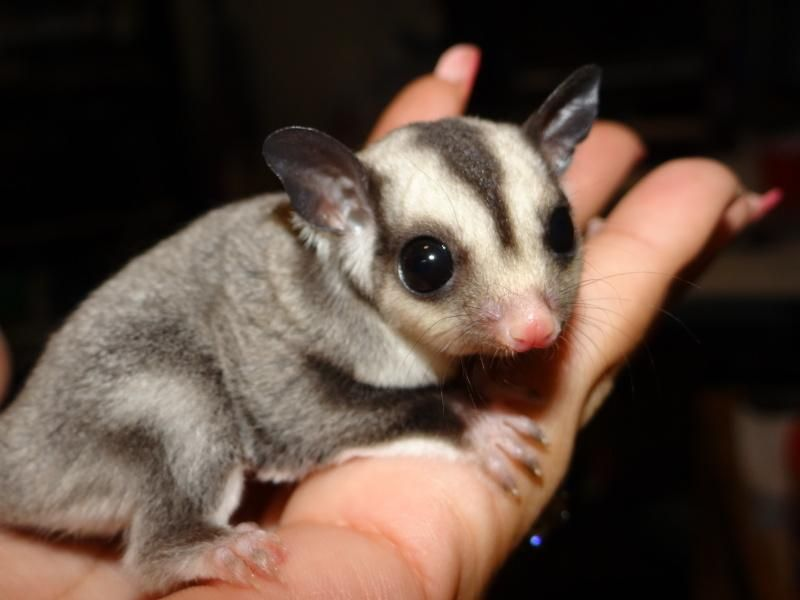 Pics Of Male And Female Sugar Gliders - Best Sugar 2017