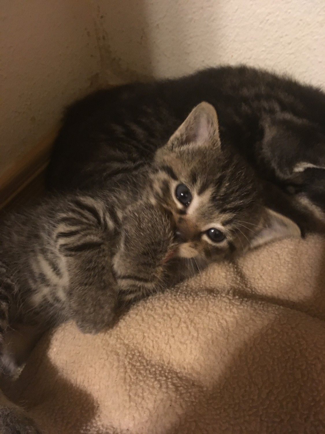 Tabby Cats For Sale Tacoma Wa 309240 Petzlover