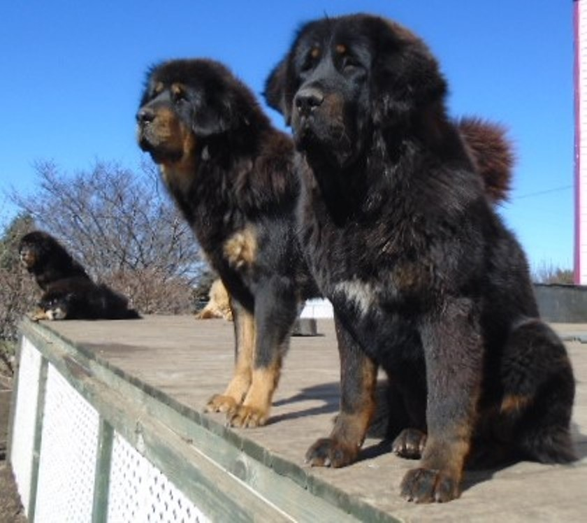 Tibetan Mastiff Puppies For Sale | Galva, IL #245690