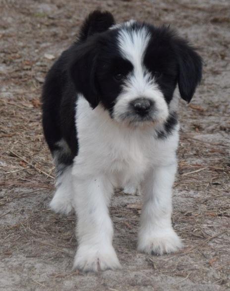 Tibetan Terrier Puppies For Sale Houston Tx 132401