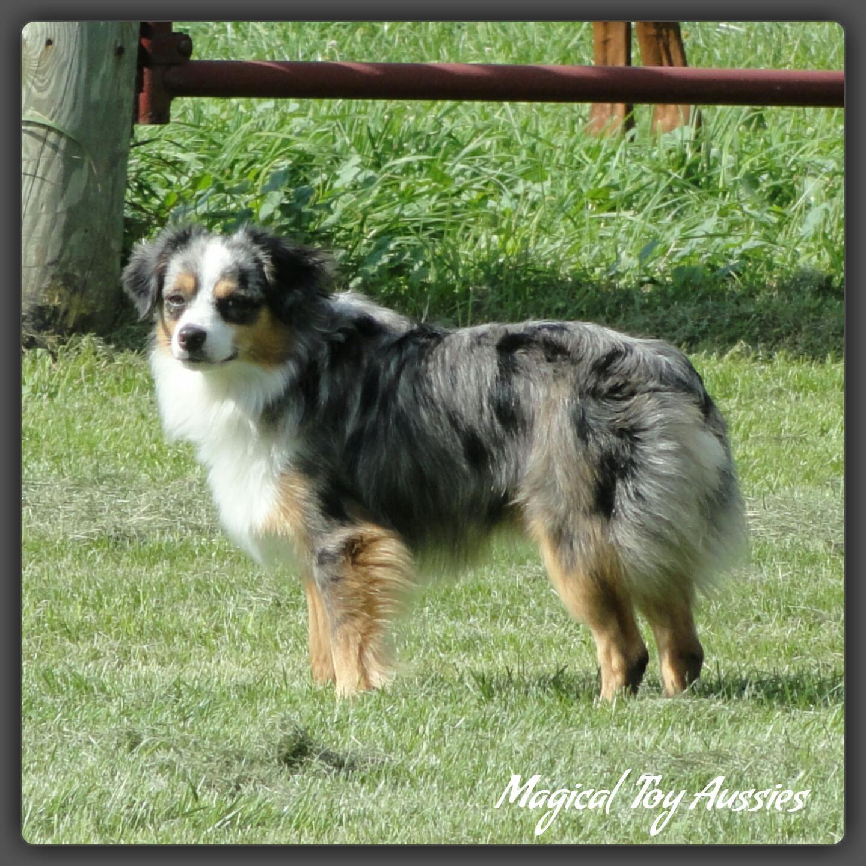Toy Australian Shepherd Puppies For Sale | Byron, NY #204498