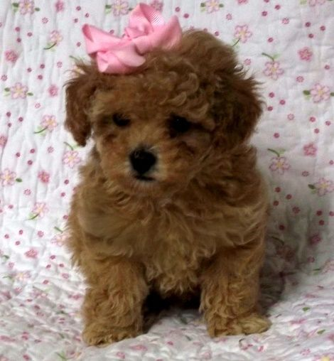 Toy Poodle Puppies For Thornton