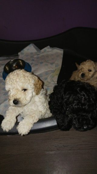 Toy Poodle Puppies For Sale | Jackson, MS #184889