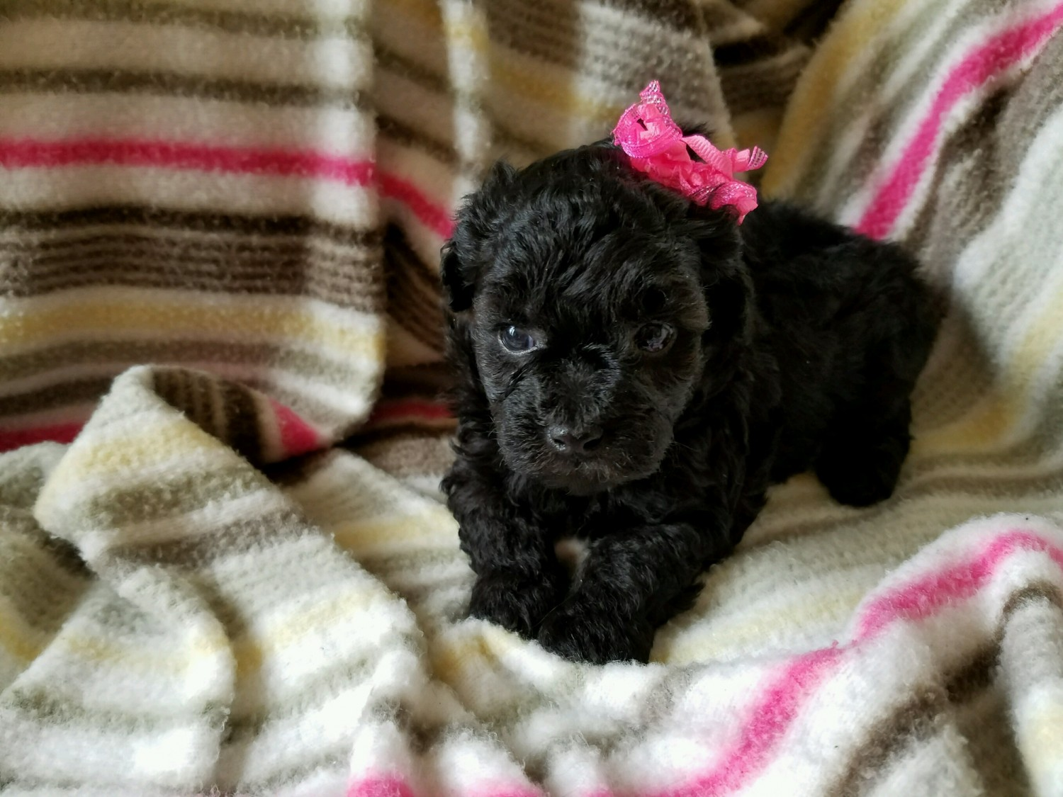 Toy Poodle Puppies For Sale Colonial Heights Va 190273