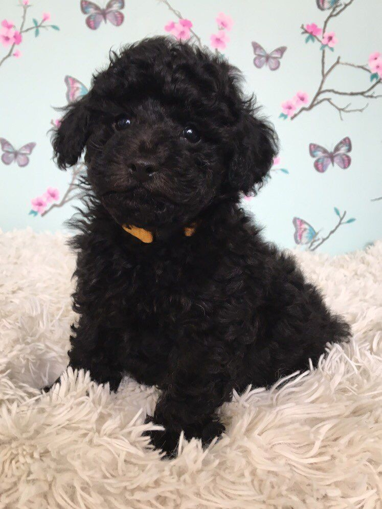 Toy Poodle Puppies For Sale Oregon 99w Or 191277