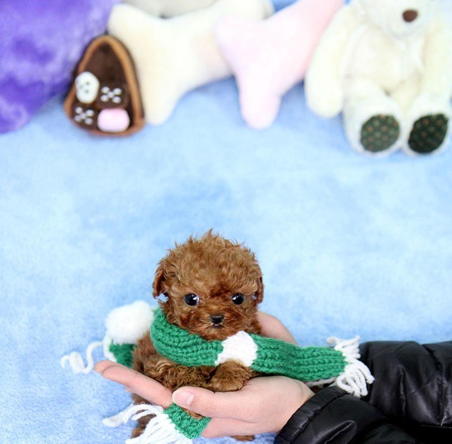 Toy Poodle Puppies For Sale Memphis Tn 208694