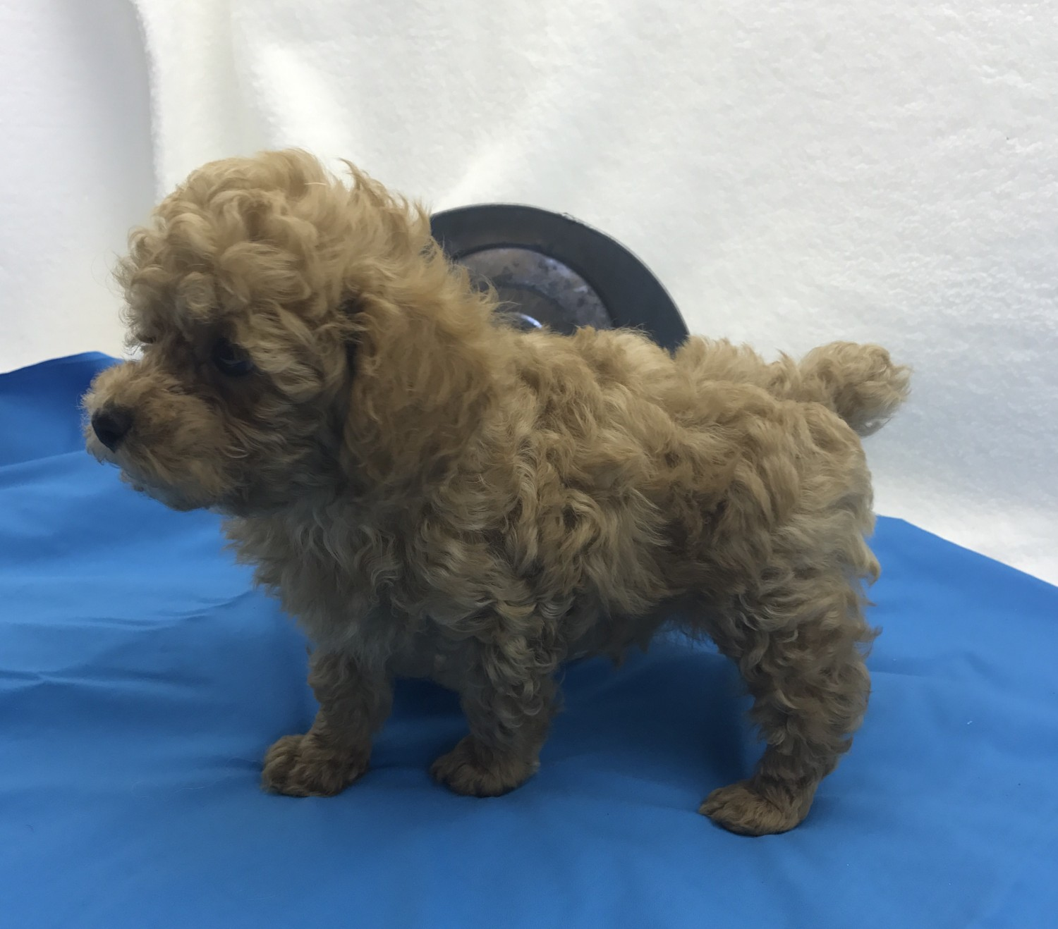 Toy Poodle Puppies For Sale Springfield Mo 245322