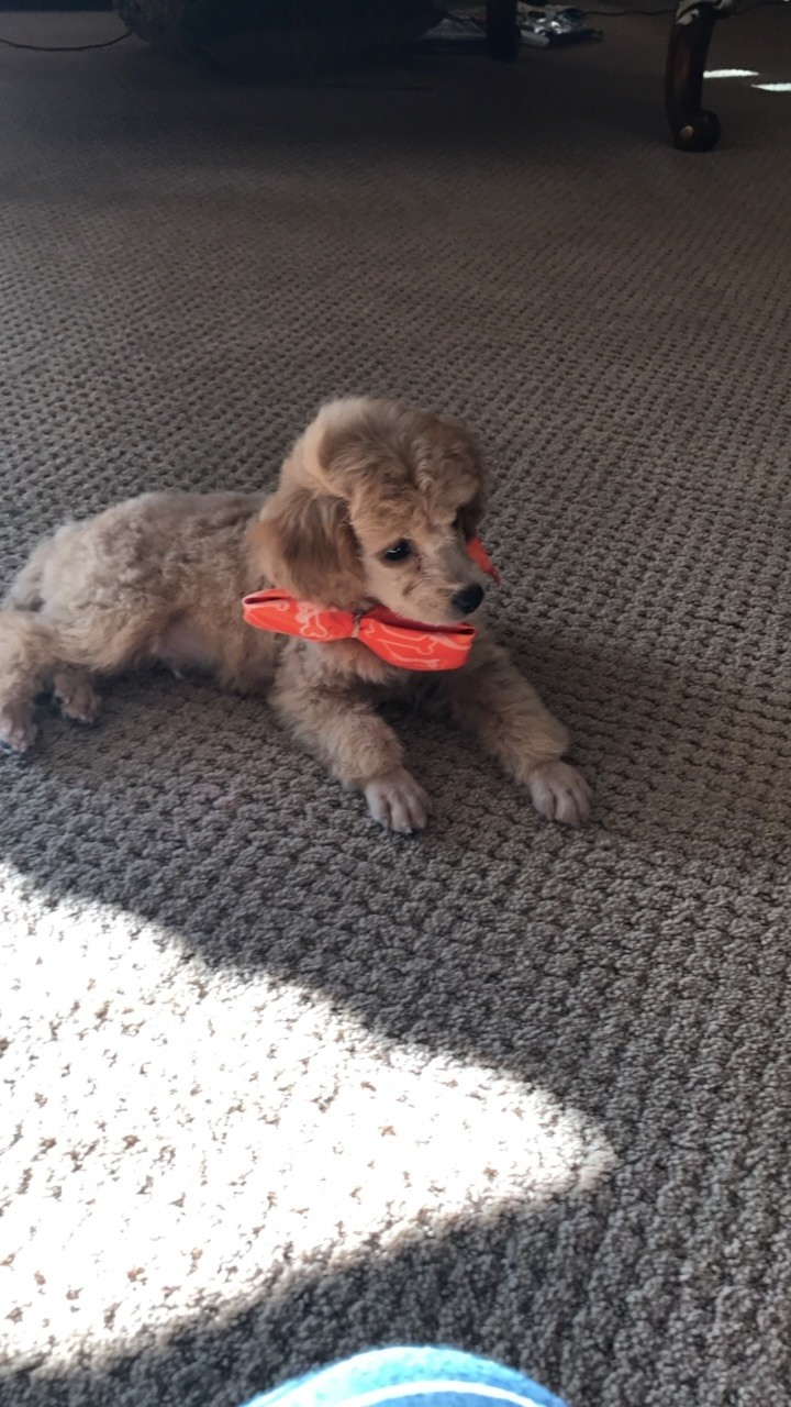 Toy Poodle Puppies For Sale Salem Or 245694 Petzlover