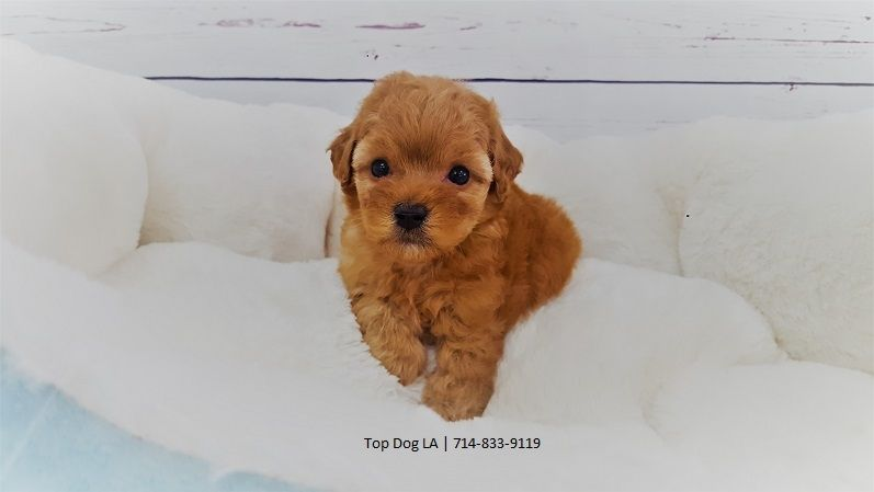 Toy Poodle Puppies For Sale Orange County Ca 247859