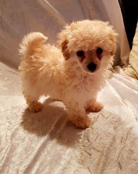 Toy Poodle Puppies For Sale Austin Tx 255711 Petzlover