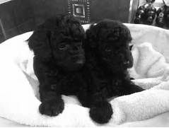 Toy Poodle Puppies For Sale Point Pleasant Beach Nj 264325