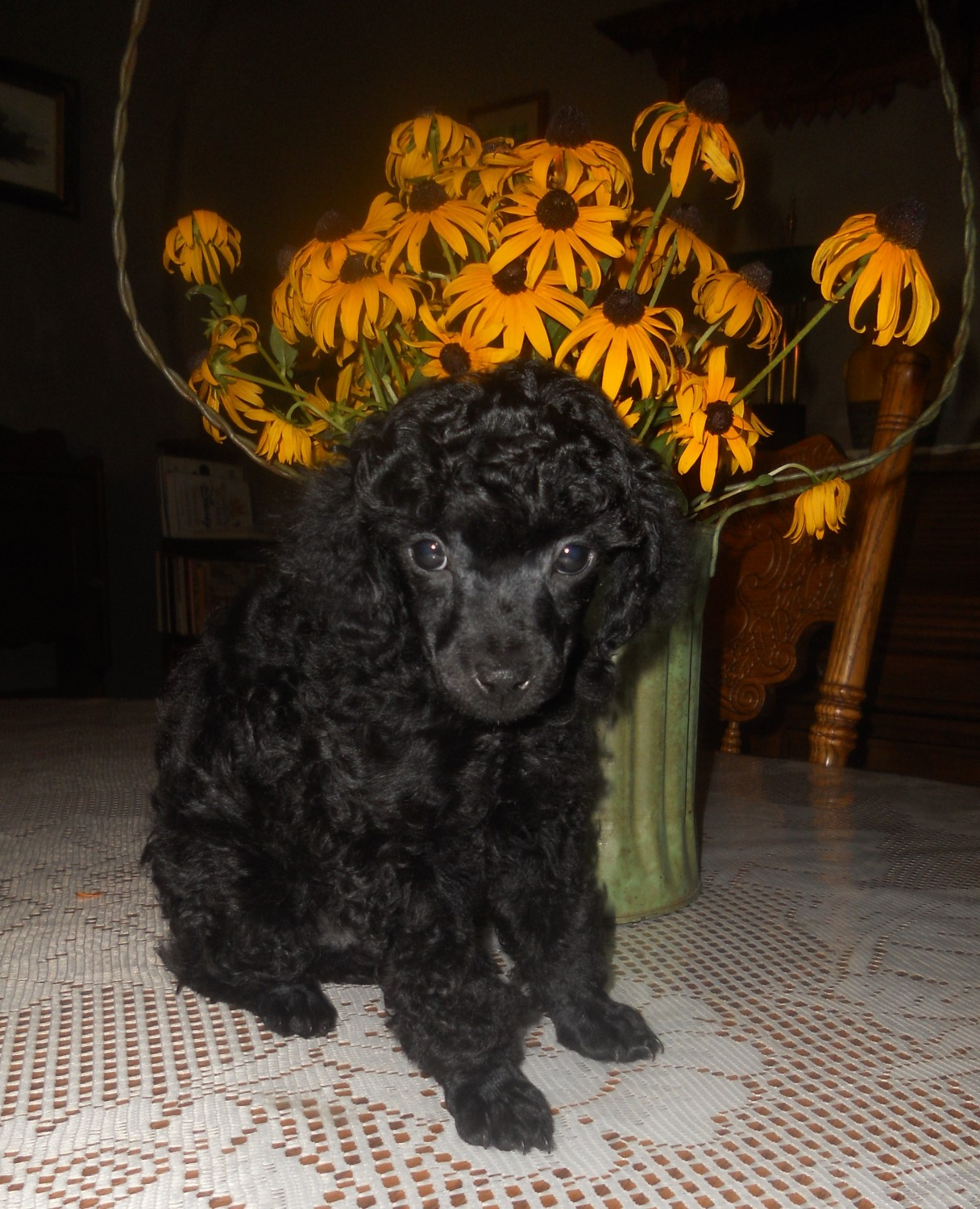 Toy Poodle Puppies For Sale Kirksville Mo 280316
