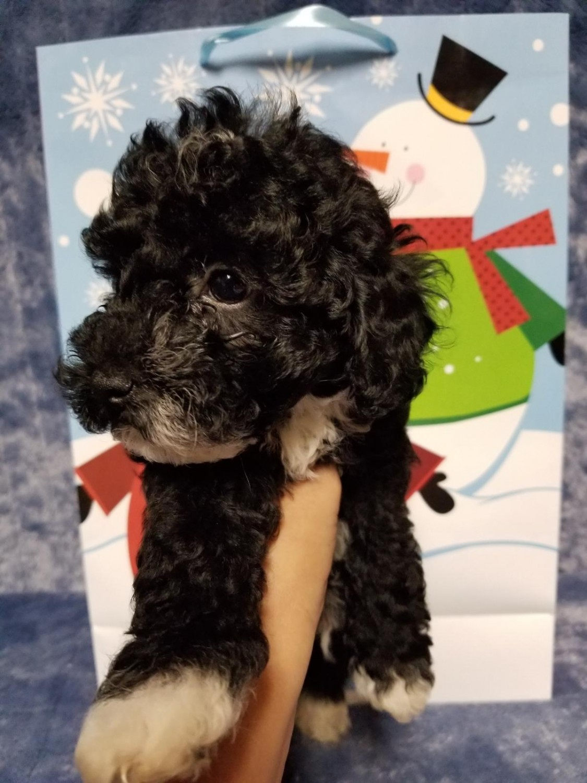 Toy Poodle Puppies For Sale Nashville Tn 286832