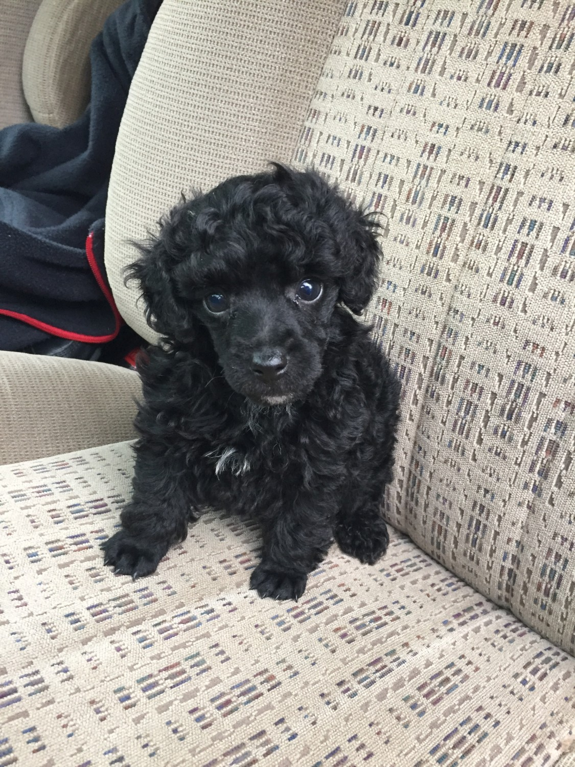 Toy Poodle Puppies For Sale | Pomeroy, OH #294964