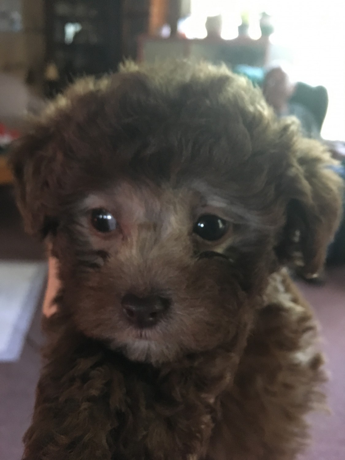 Toy Poodle Puppies For Sale Albion In 305507 Petzlover