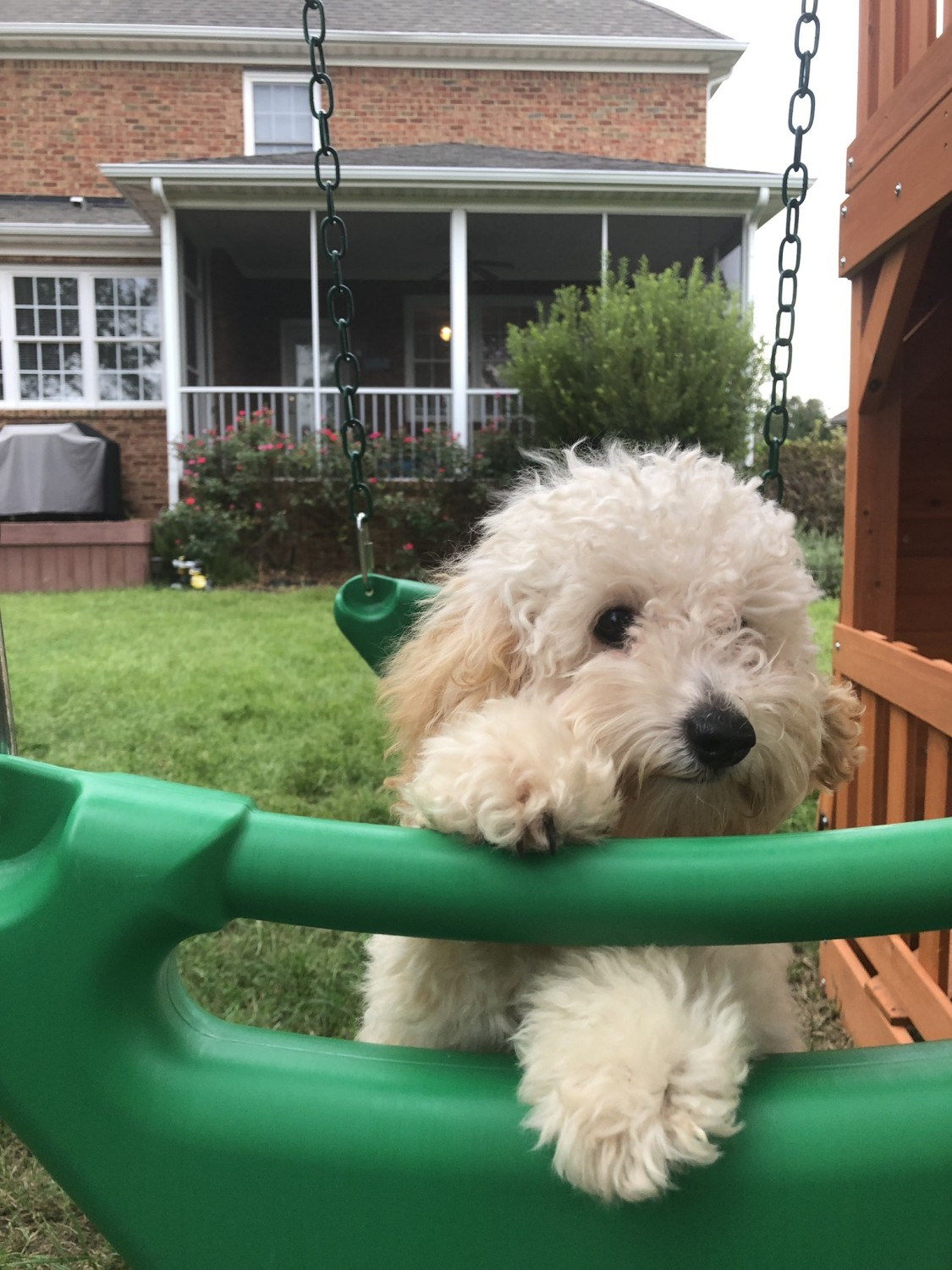 Toy Poodle Puppies For Sale Lambardi Court Va 308824