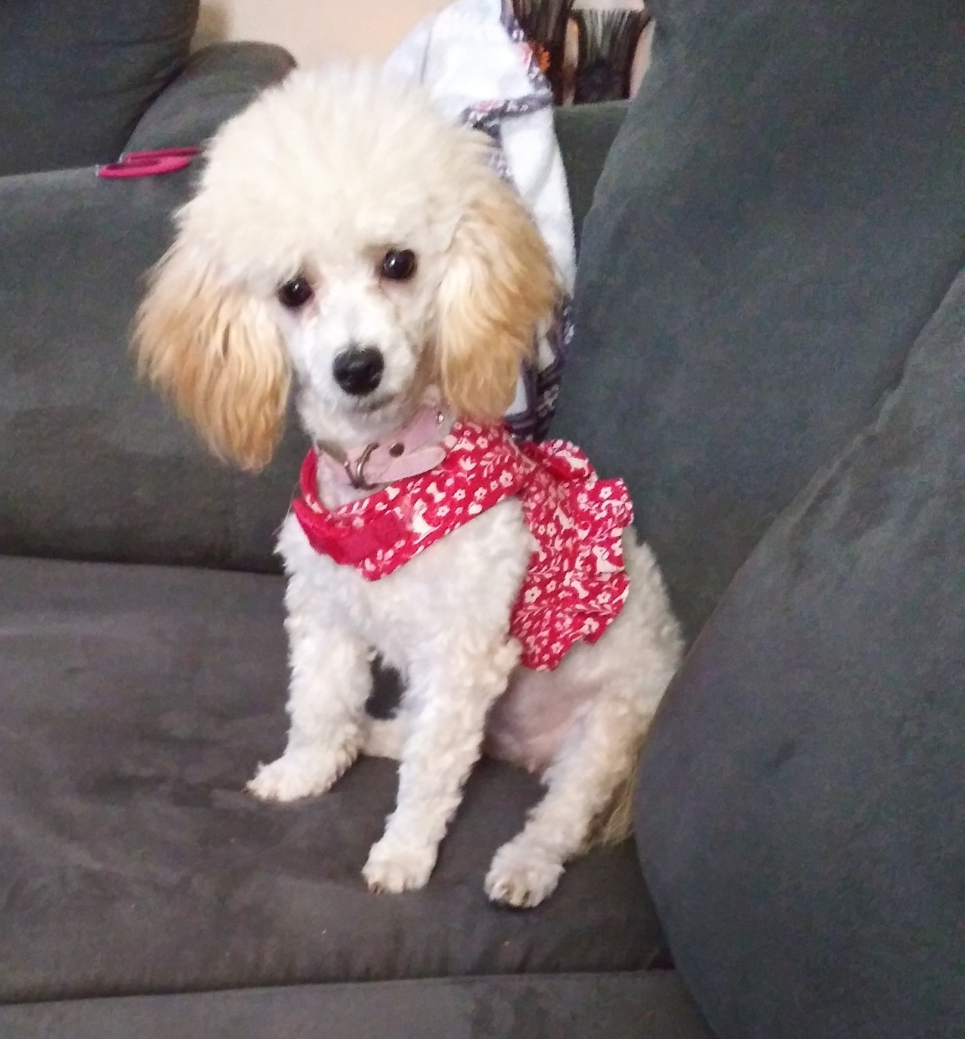 Toy Poodle Puppies For Sale Chesapeake Va 313424
