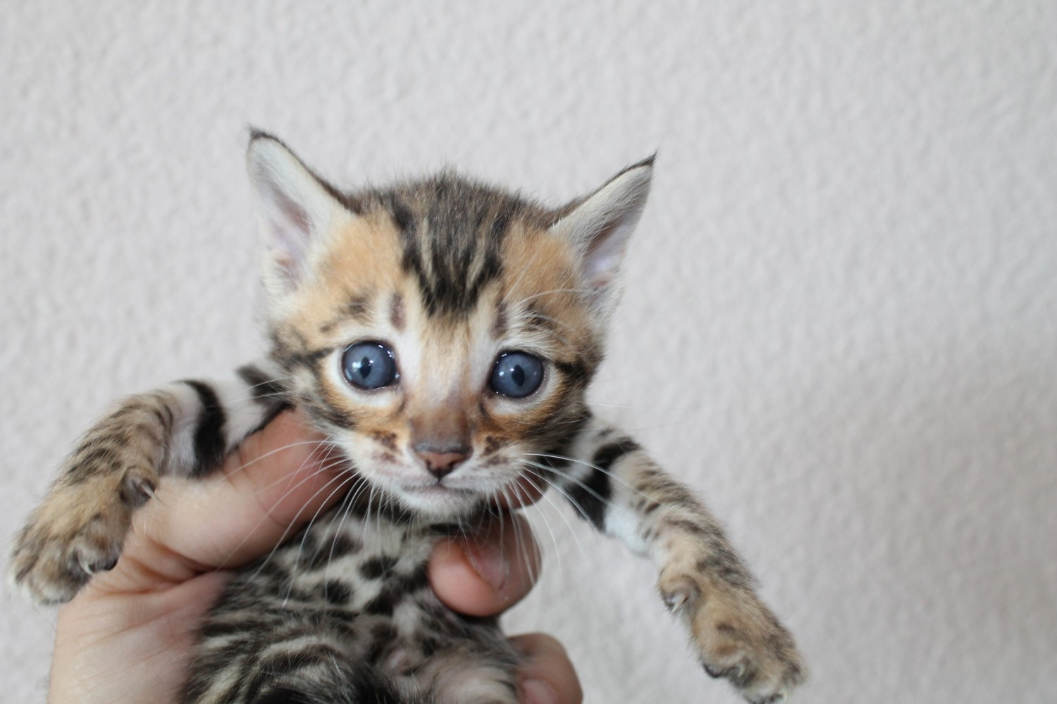 Toyger Cats For Sale | San Francisco, CA #185166 | Petzlover