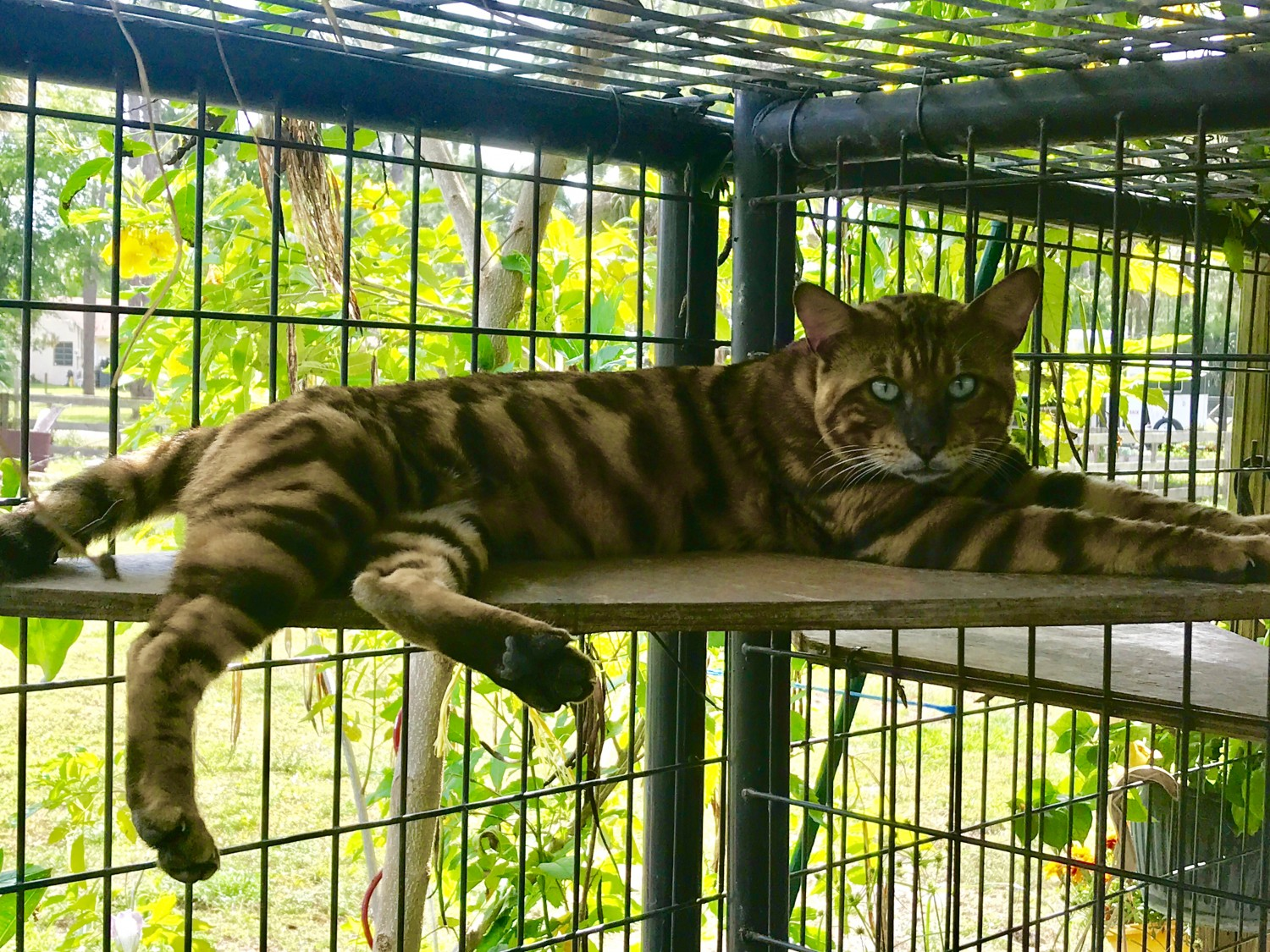 Toyger Cats For Sale | West Palm Beach, FL #297214