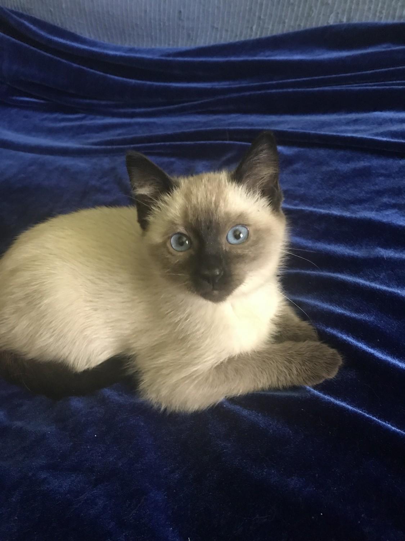 Birds For Sale >> Traditional Siamese Cats For Sale | Ponchatoula, LA #287270