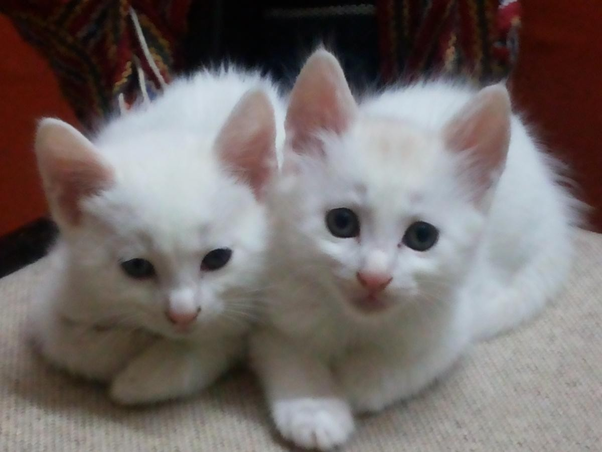8ad7a93abada6a Turkish Angora Cats For Sale