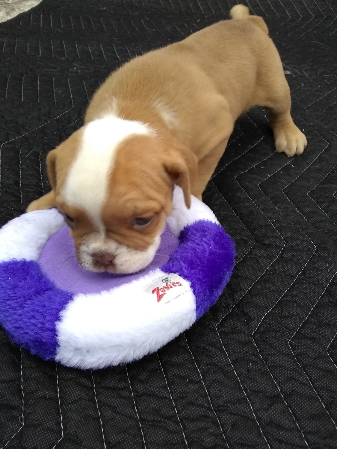 Valley Bulldog Puppies For Sale | Zebulon, NC #289133